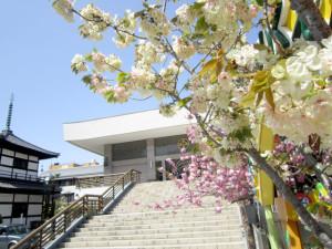 ウコン桜2